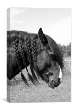 Shire horse with plaited mane, Canvas Print