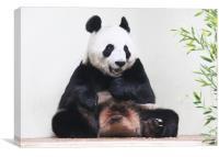 Giant Panda hungrily looking at bamboo, Canvas Print