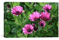 Deep pink daisies, osteospermum, Canvas Print