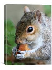 Grey Squirrel, Canvas Print