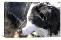 Border Collie, Canvas Print