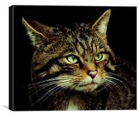 Scottish Wildcat, Canvas Print