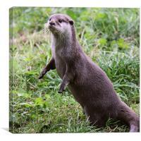 European Otter standing up, Canvas Print