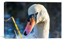 Portrait of a Mute Swan, Canvas Print