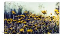 Field of daisies, Canvas Print