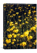 Field of yellow daisies, Canvas Print