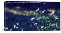 Daisies illuminated by the sun, Canvas Print