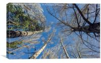 Trees from below, Canvas Print
