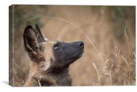 Wild dog dreams, Canvas Print