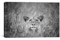 Cheeky lion cub, Canvas Print