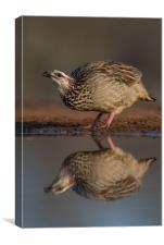 Crested Francolin reflection, Canvas Print