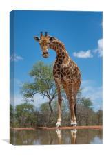 Curious giraffe, Canvas Print