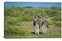 Zebras in bloom, Canvas Print