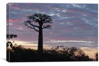 Baobab at Sunset                           , Canvas Print