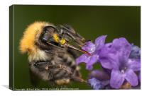 Bumblebee on Lavender, Canvas Print