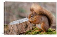 Red Squirrel, Canvas Print