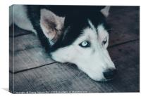 Closeup Portrait of Husky Dog, Canvas Print