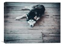 Beautiful Husky Dog, Canvas Print