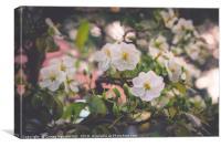 White Apricot Blossom, Canvas Print