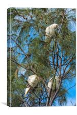 Goffin Cockatoos in the trees at Cape Byron Bay, Canvas Print