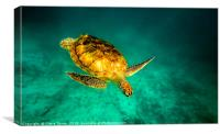 Green turtle , Canvas Print