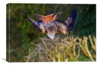 Red Kite Swooping, Canvas Print