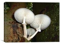 Porcelain fungus, Epping Forest., Canvas Print