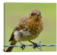 Young robin, Canvas Print