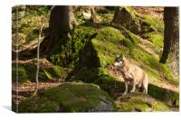 Eurasian Grey Wolf , Canvas Print
