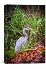 Young Heron on the towpath, Canvas Print