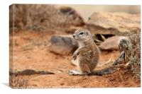 Baby Ground Squirrel, Canvas Print