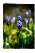 Flowering Two-Tone Grape Hyacinths., Canvas Print