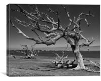 Driftwood Tree, Canvas Print