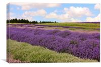 Lavender field in the Cotswolds, Canvas Print