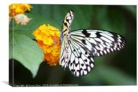 Tree Nymph Butterfly on a Flower, Canvas Print