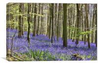 Queen's Wood Bluebells, Cheltenham, Canvas Print