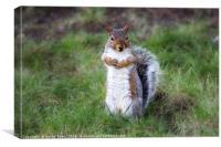 Grey Squirrel on Grass, Canvas Print
