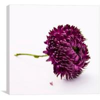 Plum color and Chrysanthemum flower, Canvas Print
