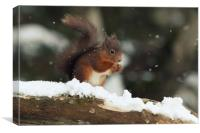 Red Squirrel in the Snow (Aberdeenshire, Scotland), Canvas Print