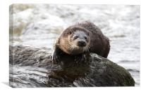 Otter in the river (Aberdeen, Scotland), Canvas Print