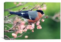 Bullfinch with pink berries, Canvas Print
