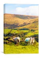 Sheep near Chipping, Canvas Print