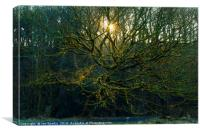 Sunbeams through bare trees, Canvas Print