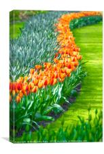 Tulips in full bloom, Canvas Print