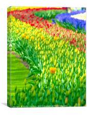 Rainbow of tulips at Keukenhof garden, Canvas Print