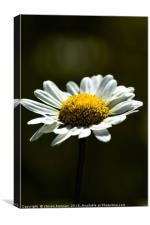 Macro shot of a daisy , Canvas Print