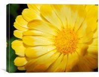 Yellow Marigold, Canvas Print