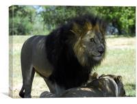 Lion staring , Canvas Print