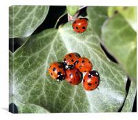 Ladybirds, Canvas Print