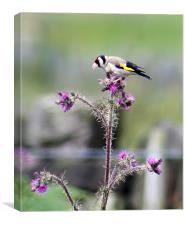 goldfinch and thistle, Canvas Print